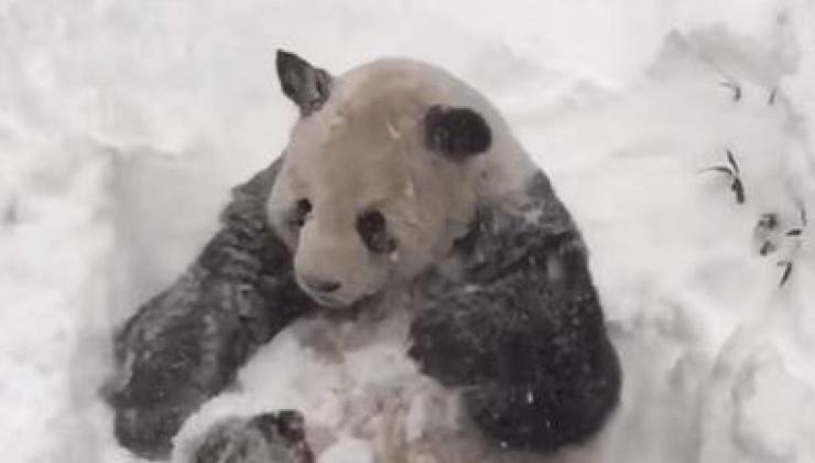 Le panda qui adore la tempête Jonas