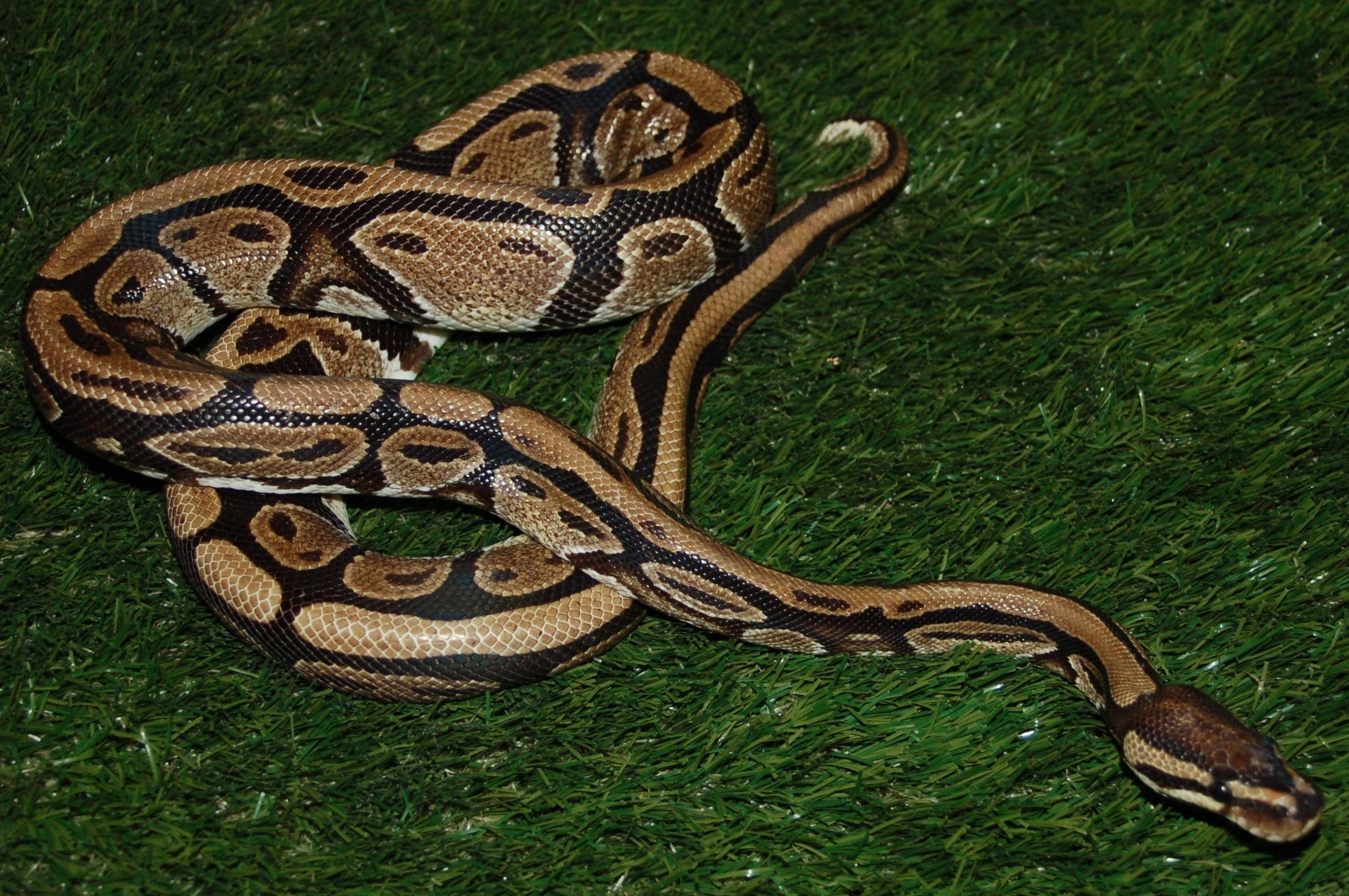gros python