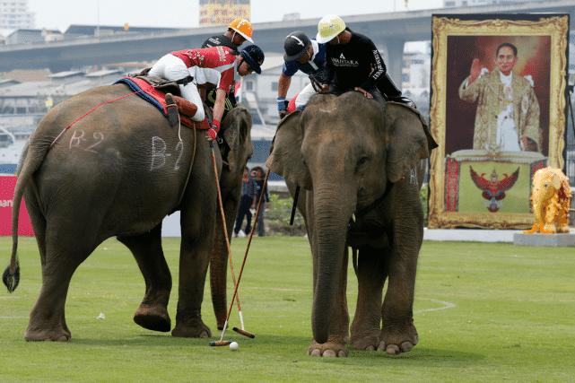 Les éléphants portent sur leur dos leur cornac mais aussi un joueur assis juste derrière, en pantalon blanc et casque de polo. Photo Reuters