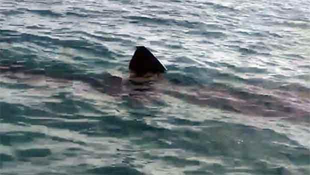 requin-méd