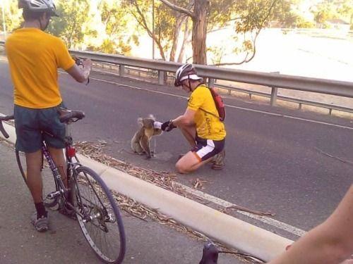 un koala et cycliste