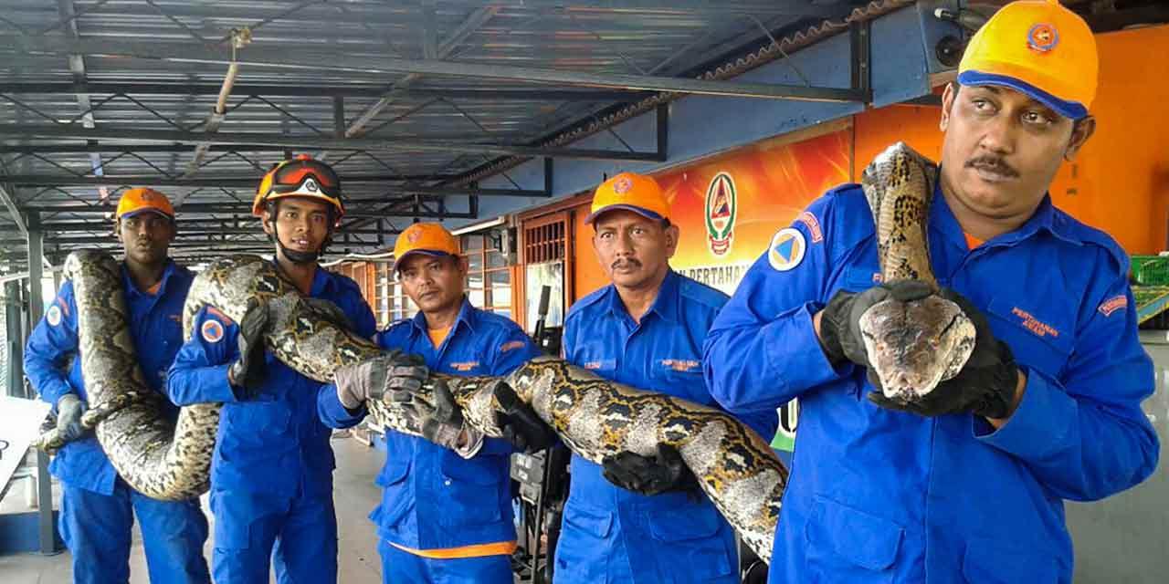 Un-python-capturé-en-Malaisie
