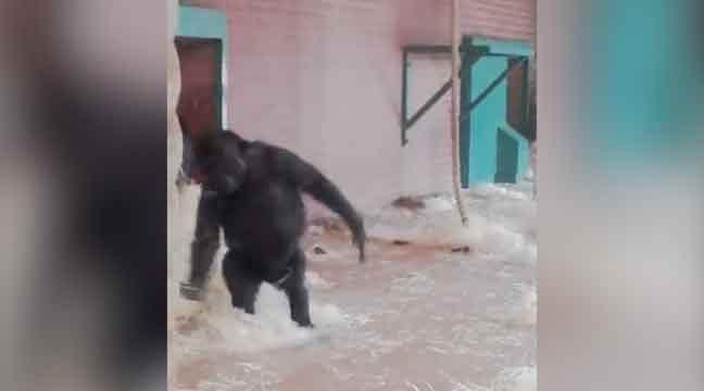 gorille-ballet