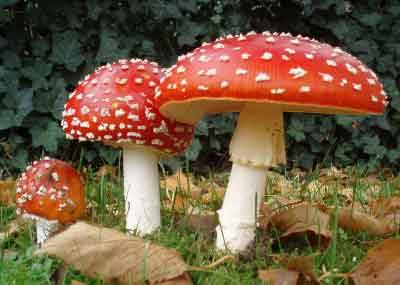 Des-champignons-hallucinogène