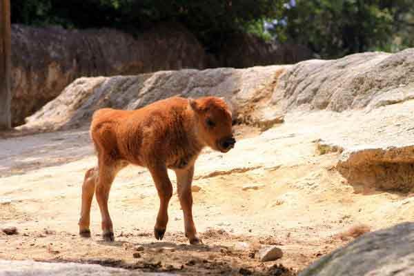bébé-bison