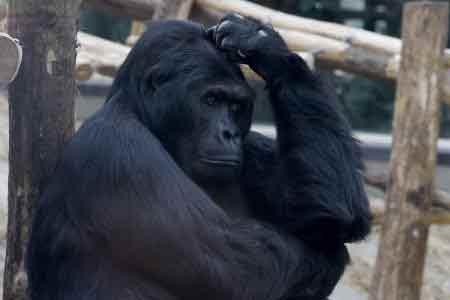 gorille-tue