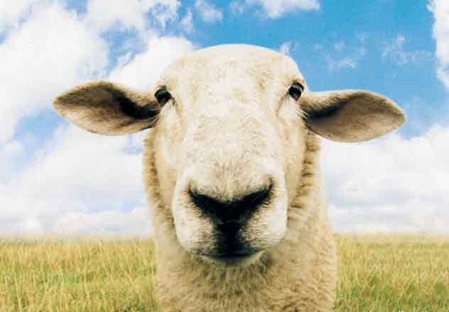 mouton-fun