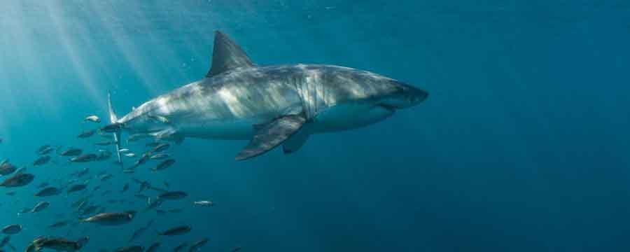 requins-mangent-baleine
