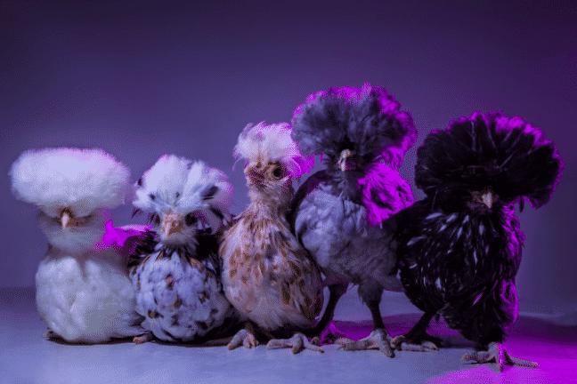 Chic Chicks 2
