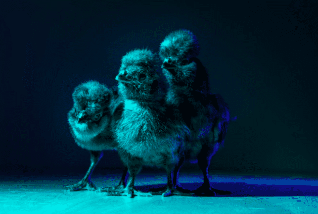 Chic Chicks 3