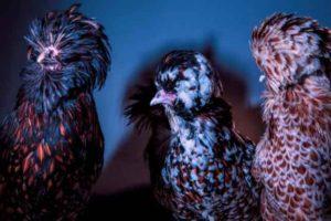 Chic-Chicks