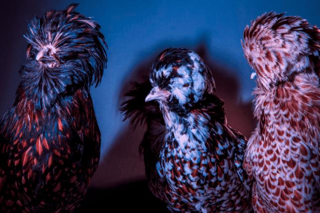 Chic Chicks