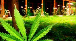 cannabis-microsoft
