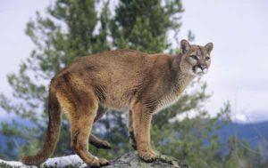 cougar-1