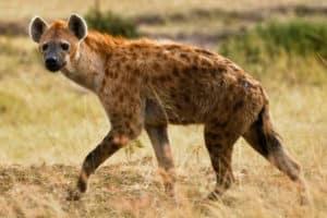 hyene kruger