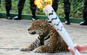 jaguar-bresil