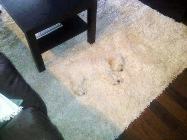 chiens cache 2