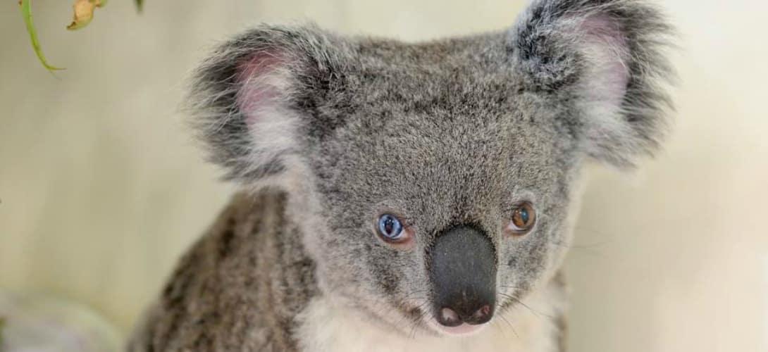 koala vairons