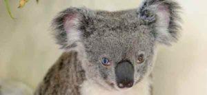 koala-vairons
