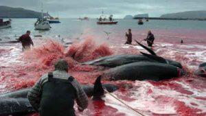 massacre-baleines