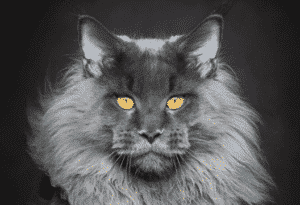 Maine coon 0