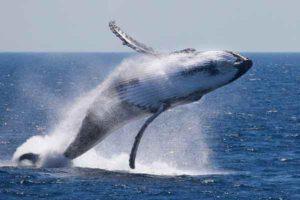 baleine-saute