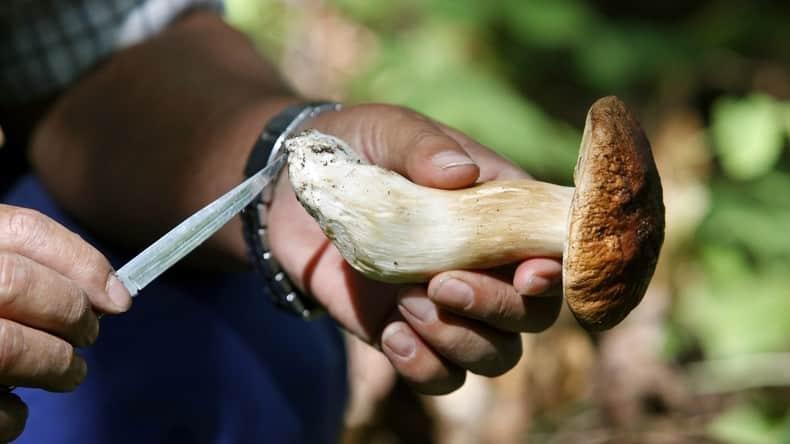 champignons recolte
