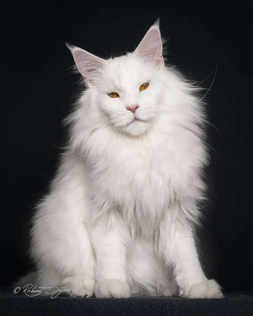 maine coon 10
