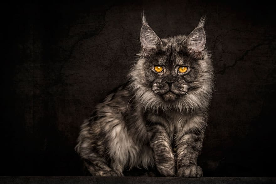 maine coon 11