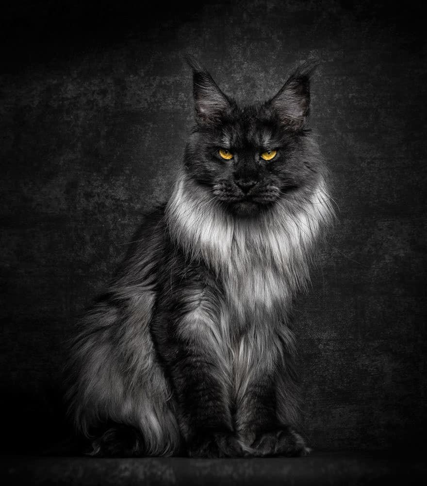 maine coon 6