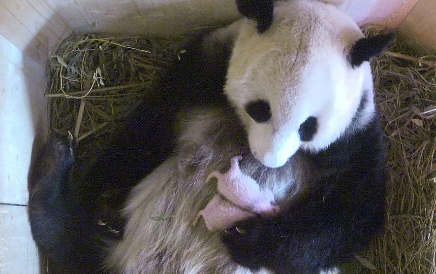 deux pandas jumeaux naissent dans un zoo de vienne. Black Bedroom Furniture Sets. Home Design Ideas