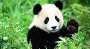 panda-mignon