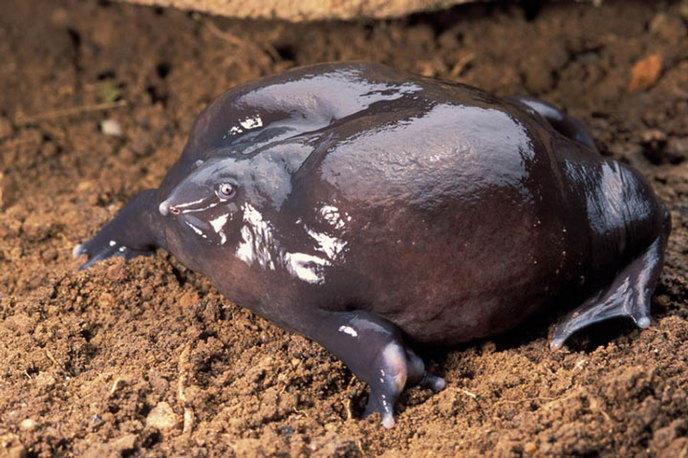 la-grenouille-violette-dinde-1