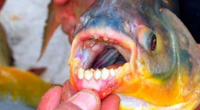 le-poisson-pacu-1