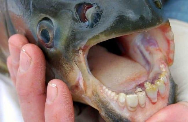 le-poisson-pacu-2