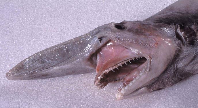 le-requin-lutin-2