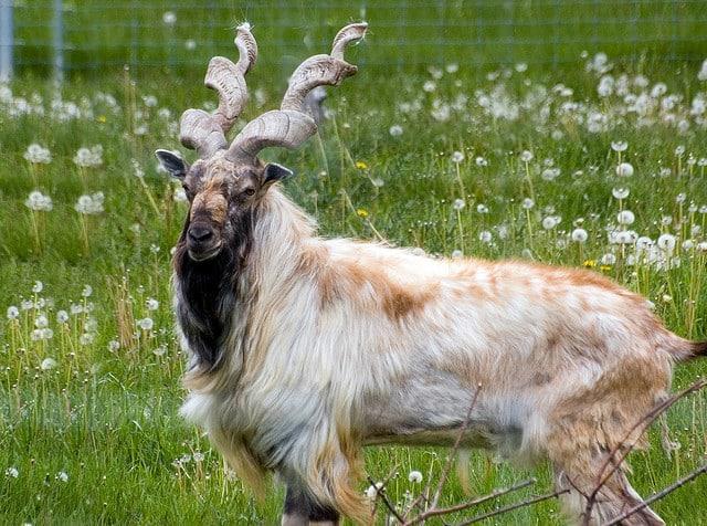markhor-goat