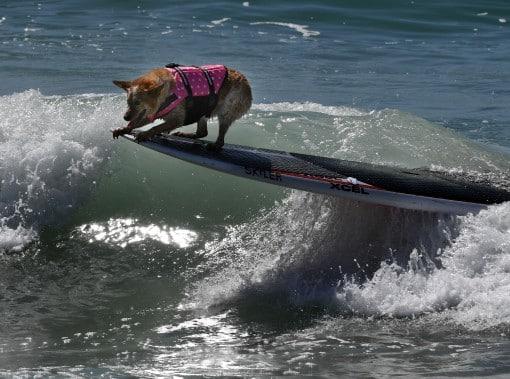 chiens-surfs-3