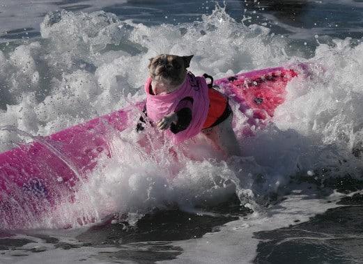 chiens-surfs-4