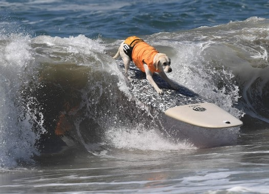 chiens-surfs-7