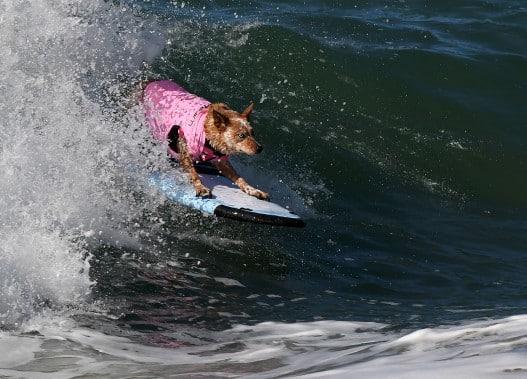 chiens-surfs-9
