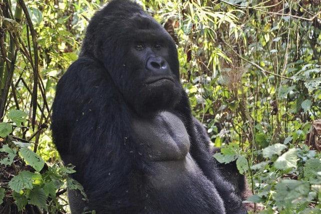 Gorille de l'Est (Gorilla beringei)