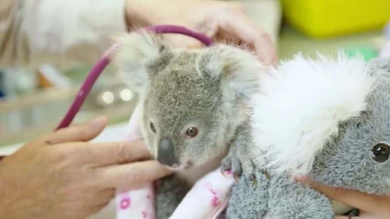koala-peluche