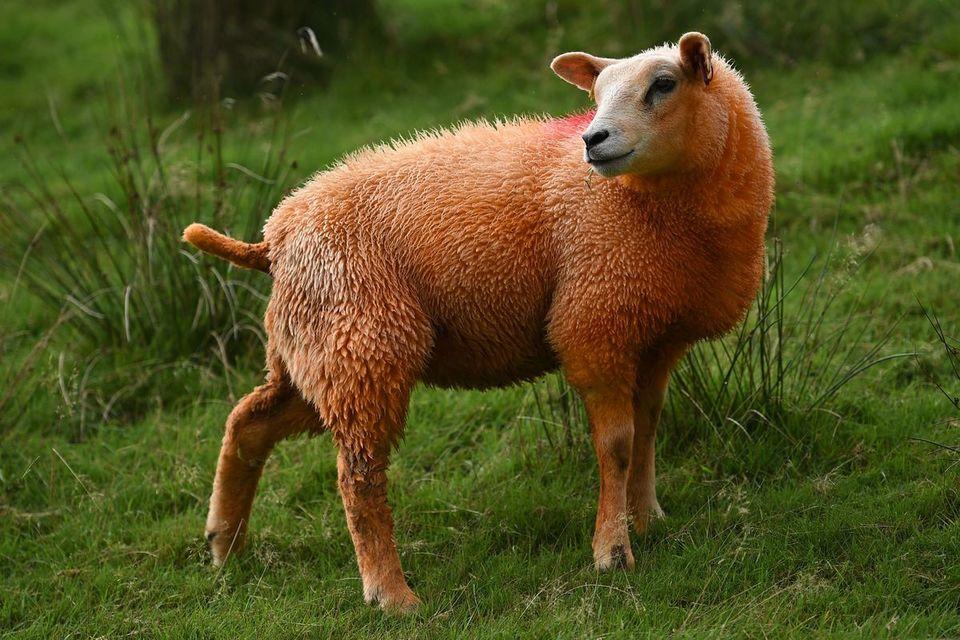 mouton-rouge-1