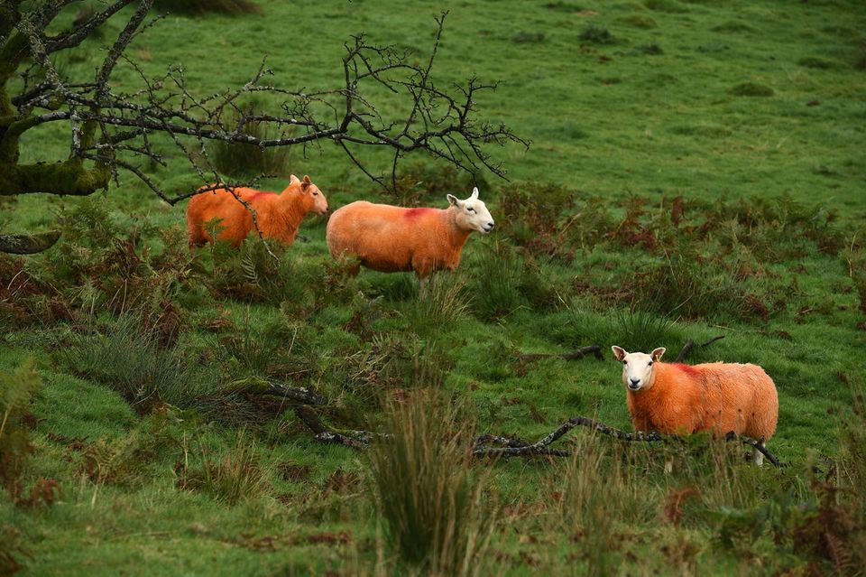 mouton-rouge-3