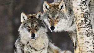 norvege-loups