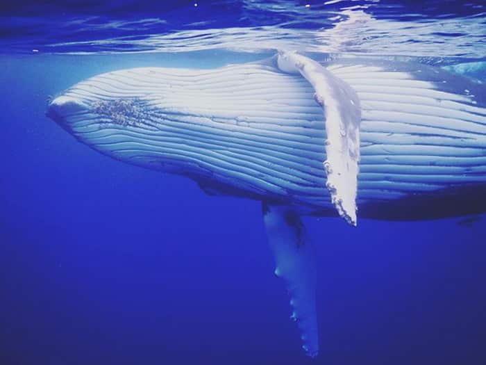 plongee avec baleines 2