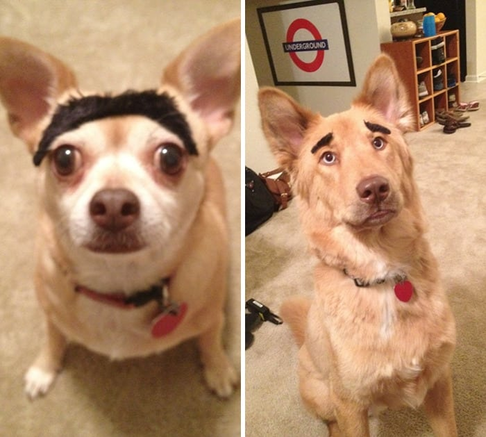 chien-avec-des-sourcils-10