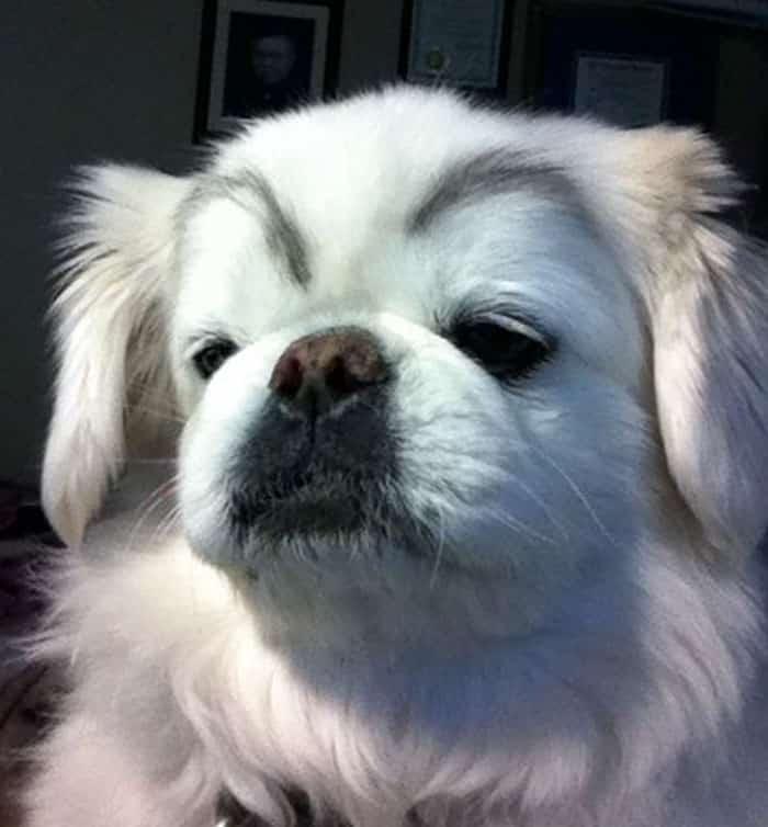 chien-avec-des-sourcils-13