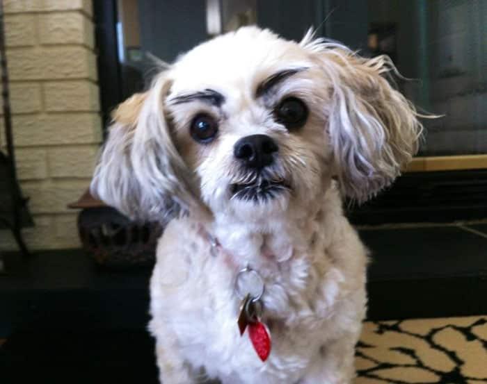 chien-avec-des-sourcils-18